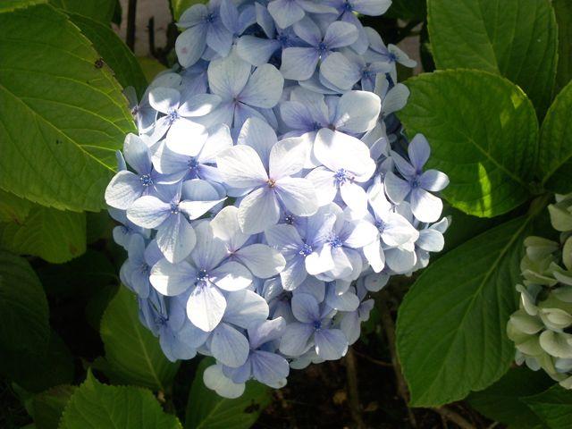 hydrangea macrophylla hortensia bleu clair. Black Bedroom Furniture Sets. Home Design Ideas