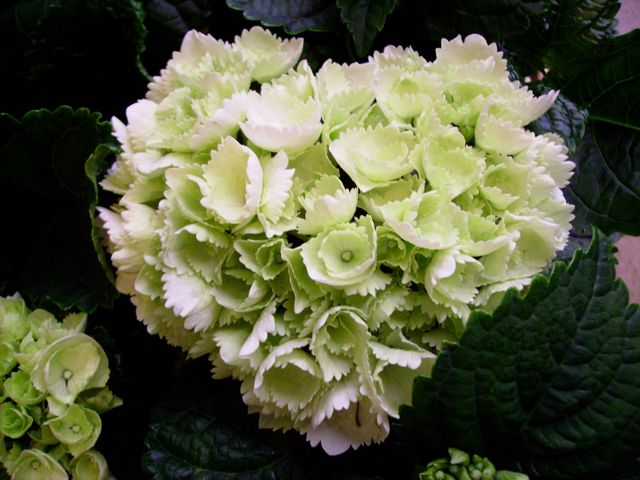 hydrangea macrophylla hortensia coeur blanc. Black Bedroom Furniture Sets. Home Design Ideas