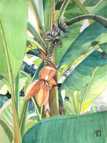 Famille Des Musacees Floraison Des Bananiers Musa Ensete Et Musella