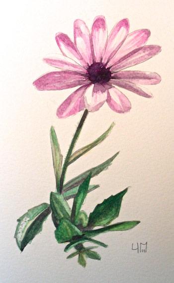 Osteospermum aquarelle