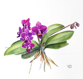 Aquarelle de Phalaenopsis