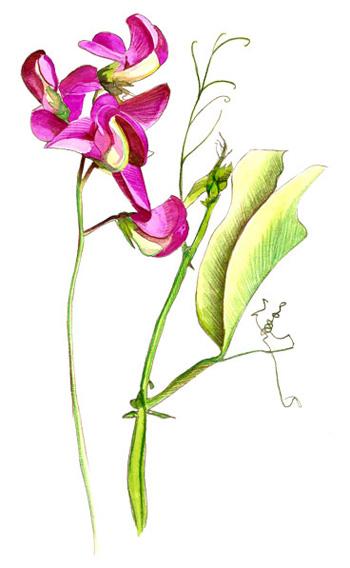 Aquarelle, Lathyrus latifolius