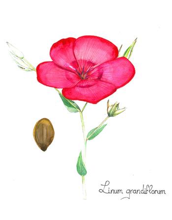 Aquarelle de Lin rouge