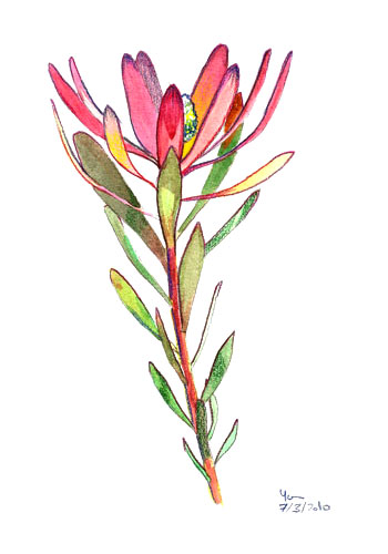 Aquarelle de protea