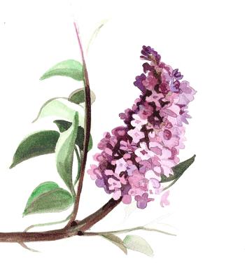 oleaceae famille des ol ac es forsythia lilas olivier et jasmine tea. Black Bedroom Furniture Sets. Home Design Ideas