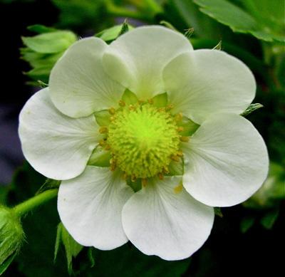 Ce Fraisier Fragaria Presente Une Fleur En Heptagone