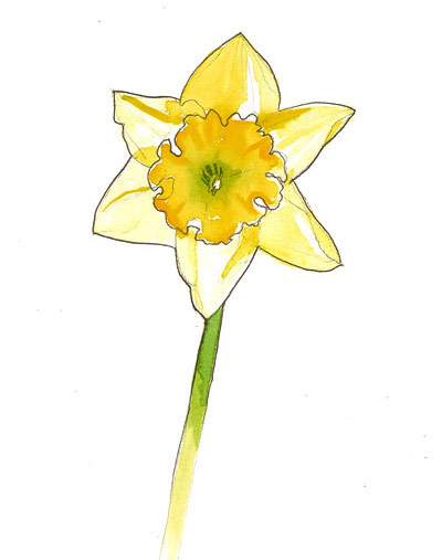 Aquarelle de narcisse
