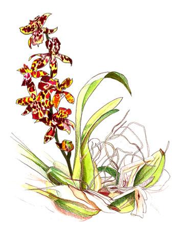 Orchidée Odontoglossum