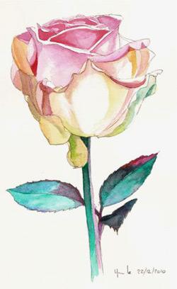 Famille Des Rosacees Aquarelle De Rose Rosa