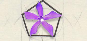 Fleur en pentagramme