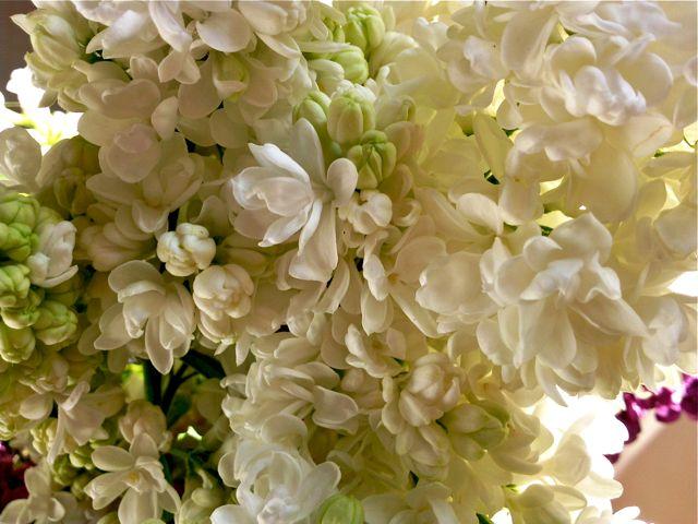 syringa vulgaris lilas blanc double. Black Bedroom Furniture Sets. Home Design Ideas