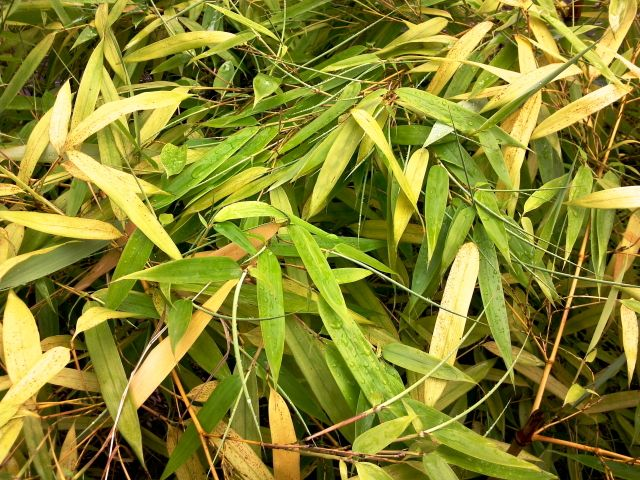 phyllostachys aureosulcata bambou jaune feuilles. Black Bedroom Furniture Sets. Home Design Ideas